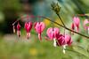 bleeding heart (bohnengarten) Tags: schweiz swiss switzerland eos 80d thurgau blume flower blüte bloom tränendes herz lamprocapnos spectabilis bleeding heart