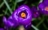 Crocus (The Crewe Chronicler) Tags: crocus flower flowers springflowers flora nature naturalworld canon canon7dmarkii crewe cheshire purple
