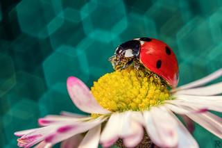 Mariquita/Ladybug