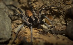 Miturgidae (dustaway) Tags: arthropoda arachnida araneae araneomorphae miturgidae australianspiders woodland canungra darlingtonrange sequeensland queensland australia