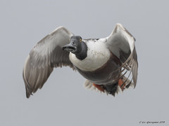 Northern Shoveler Eyes Photographer (pandatub) Tags: bird birds duck northernshoveler baylands paloalto