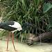 Black-necked Stork (Ephippiorhynchus asiaticus Ciconiidae)