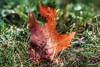 foglia morta, dead leaf (Massimo Vitellino) Tags: nature stilllife park garden perspective outdoors hdr colors noperson red green macro