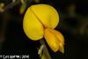 Cytisus sp. (Luís Gaifém) Tags: cytisussp fabaceae luísgaifém macro natureza nature planta plantae flor flower castelodeneiva