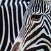 Zebra variation2