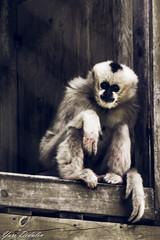 And Then What? (Yuri Dedulin) Tags: dedulinyuri mammal animal monkey zoo fur primate ape cute nature newjersey nj turtlebackzoo westorange