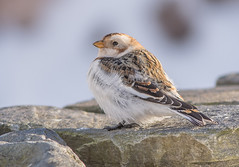 JWL0424  Snow Bunting.. (jefflack Wildlife&Nature) Tags: snowbunting buntings snow birds avian animal animals wildlife wildbirds wintermigrant winter moorland mountain mountains songbirds countryside cairngorms highlands scotland nature ngc coth5