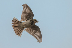 Parachuting Pipit (Tim Melling) Tags: anthus pratensis meadow pipit parachute display song flight west yorkshire pennines peak district timmelling