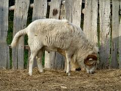 grazing (IceM626) Tags: plimothplantation plimoth sheep