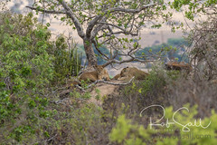 Female Lions Resting Behind the Cubs on the Lookout (robsall) Tags: 2016 500mm 7dmark2 7dmarkii 7dm2 7dmii africa africatourism africawildlifephotography africanwildlife big bigcat bigcats canon canon500mmf4lisiiusm canon500mmf4 canon500mmf4lii canon500mmf4ii canon7dmark2 canon7dmarkii canon7d2 canon7dm2 canoneos canoneos7dmark2 canoneos7dm2 carnivore cat endangered family feline largefelines lion lioness lions mammal pantheraleo predator robsallaeiral robsalldrone robsalldronephotography robsallphotography robsallwildlifephotography tanzania tanzania2016 vacation vulnerable manyararegion