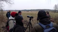 Bisonte Watching