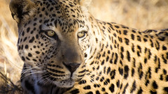 leopard's rest (Beppe Rijs) Tags: wildtiere natur namibia afrika africa landscape landschaft color farbe nationalpark nature np animal tier steppe leopard wildkatze wildcat wildlife wildnis tarnung camouflage fell muster portrait porträt fur pattern design eyes augen blick look gaze