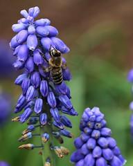 Bee, and Bluebonnet Bokeh (dsgetch) Tags: barsbokeh bokeh bee honeybee beebokeh bluebonnet bluebonnetbokeh pnwbokeh depthoffield dof flower flowers flowersofspring cascadia pacificnorthwest oregon pnw pnwlife willamettevalley lanecounty eugeneoregon eugene