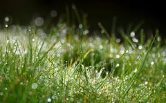 Diamonds in the rough (SteveJM2009) Tags: water droplets sunlight sun light grass shine glitter bokeh helland cornwall uk march 2018 stevemaskell flare