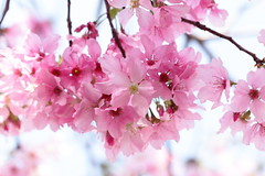 IMG_3971M Romance of spring. 春爛漫. (陳炯垣) Tags: flower blossom blooming spring petal cherry さくら