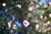 Camellia (tonybill) Tags: april cyclop85mmf15 flowers gardens miscellaneous rhs rhswisley sonya7rii spring sunshine surrey wisley bokeh