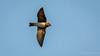 Cliff Swallow (Bob Gunderson) Tags: birds california cliffswallow lasgallinas marincounty northbay northerncalifornia petrochelidonpyrrhonota swallows