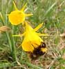 Bumblebee,  Bombus pratorum, on Narcissus bulbocodium (Michiel Thomas) Tags: hoepelroknarcis narcissusbulbocodium hortus haren bumblebee narcissus bombus pratorum weidehommel