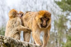 Hold on (Photography by Martijn Aalbers) Tags: barbary ape barbaryape barbarymacaque monkey aap berber berberaap apenheul apeldoorn gelderland guelders zoo dierentuin park parc mammal zoogdier canoneos77d ef70200mmf4lisusm wwwgevoeligeplatennl