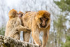 Hold on (Photography by Martijn Aalbers) Tags: barbary ape barbaryape barbarymacaque monkey aap berber berberaap apenheul apeldoorn gelderland guelders zoo dierentuin park parc mammal zoogdier canoneos77d ef70200mmf4lisusm wwwgevoeligeplatennl