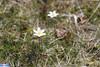 IMG_5709 (superingo78) Tags: monschau höfen narzissen blüte frühling natur schön