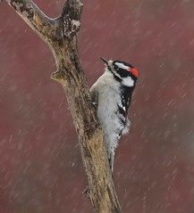 Stormy Weather (Slow Turning) Tags: picoidespubescens downywoodpecker male bird clinging deadtree branch storm precipitation ice pellets spring southernontario canada