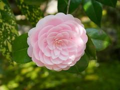 TSUBAKI (yukky89_yamashita) Tags: 妙心寺 退蔵院 千重咲き 椿 tsubaki kyoto japan