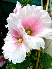 Twin Pink & White Hollyhock Flowers (Chic Bee) Tags: botany anatomy flower structure detailed hollyhocks pink white yellow green colorful pastels shades hues tucson arizona usa america americansouthwest southwesternusa