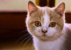 tremotino (robertoburchi1) Tags: animals cats gatti animali
