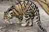 clouded leopard Ouwehand BB2A3300 (j.a.kok) Tags: panter panther luipaard leopard nevelpanter neofelisnebulosa cloudedleopard kat cat animal ouwehands mammal zoogdier dier azie asia