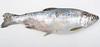 Flavobacterosis_coho_salmon_gross_III (Patologiaenacuicultura) Tags: fishdiseases fishdisease fishpathology rainbowtroutpathology coldwaterdiseases rainbowtroutfrysyndrome peduncledisease cwd rtfs skinpathology erosion ulcer haemorrhage