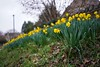 DSC00013 (FlickrDelusions) Tags: oxford oldheadington daffodils sony oxfordshire headington flowers ilce7m3 england unitedkingdom gb