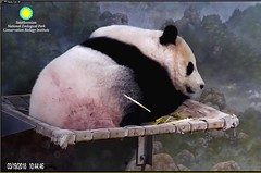 Bei were you playing cowboys and Indians with Larry? Looks like he got you with an arrow!! (Robin Gower) Tags: fuzzy sleep beibei animal vulnerable endangered cub pandastory smithsoniannationalzoo zoo nationalzoo panda ccncby
