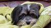 Dog Tired (Mike Slade.) Tags: henry dog plymouth devon england fujifilmx30 ©mikeslade