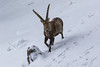 4R3A4448 (Thomas 2312) Tags: tiere winter hohe wand steinbock