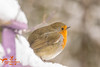 Robin in the Snow (SLHPhotography1990) Tags: british birds bird garden native nature snow winter cold robin snowy fence pose posing