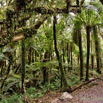 Forest walk to Fox glacier lookout thumbnail