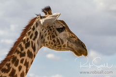 Masai Giraffe (robsall) Tags: 2016 70200 7d 7dmarki africa africatourism africawildlifephotography africanwildlife canon7020028 canon70200mm canon70200mmf28isiiusm canon7d canoneos canoneos7d family giraffacamelopardalistippelskirchi giraffe giraffes kilimanjarogiraffe mammal masaigiraffe masaigiraffes robsallaeiral robsalldrone robsalldronephotography robsallphotography robsallwildlifephotography tanzania tanzania2016 vacation manyararegion