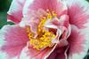 Camellia (James Mundie) Tags: jamesmundie jamesgmundie profjasmundie jimmundie mundie copyright©jamesgmundieallrightsreserved copyrightprotected japan nippon travel tokyo