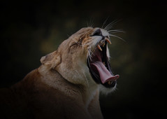 It's hard work doing nothing all day. (Chris Firth of Wakey.) Tags: yorkshirewildlifepark lioness lion