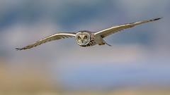 Short Eared Owl (Glenn.B) Tags: aust birdofprey gloucestershire shortearedowl owl bird