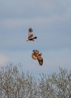 Buzzard v Harrier - 'Z' for zoom