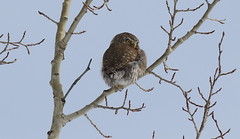 Norther Pygmy Owl  9227 (robenglish64) Tags: northernpygmyowl