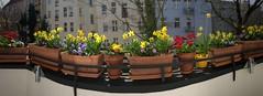 Für Inge und euch alle - das ging jetzt schnell, alles blüht und ist traumhaft bunter Frühling (Sockenhummel) Tags: balkon balkonblumen pflanzen balcony frühling panorama