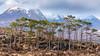 Scottish pine trees standing tall against the Beinn Eighe_DSC8044 (ARTS & IMAGES) Tags: pine tree ben eighe torridon scotland