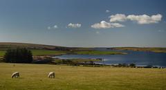 Moor Spring (suerowlands2013) Tags: collifordlake secornwall bodminmoor southwestlakestrust spring sheep grazing farming bluesky sunshine whiteclouds reservoir lake