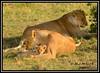 FEMALE LIONESS (Panthera leo) WITH CUBS......MASAI MARA......SEPT 2017. (M Z Malik) Tags: nikon d800e 400mmf28gedvr kenya africa safari wildlife masaimara keekoroklodge exoticafricanwildlife exoticafricancats flickrbigcats lioncubs lioness leo ngc npc