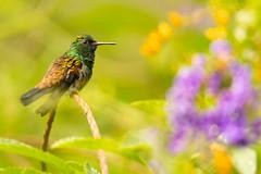 In Bloom (miTsu-llaneous) Tags: bird hummingbird nature animal wildlife wildlifephotography naturephotography birdphotography flowers color colourful vibrant nikon tamron d500 trinidad yerette caribbean
