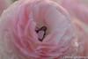 Ranonkel (Chantal van Breugel) Tags: 2018 bloemen lente macro ranonkel april canon5dmark111 canon100mm