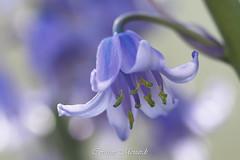 Hyacinthoides non-scripta (Corinne Ménardi) Tags: vivace liliaceae monocotylédones hyacinthacées plante fleur magnoliophyta racème tépales bleu